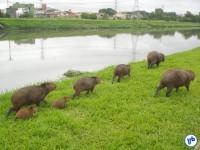 Família de capivaras às margens do Rio Pinheiros. Foto: Willian Cruz