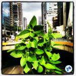 Manjericão crescendo na horta que foi criada na Praça do Ciclista. Foto: Rachel Schein