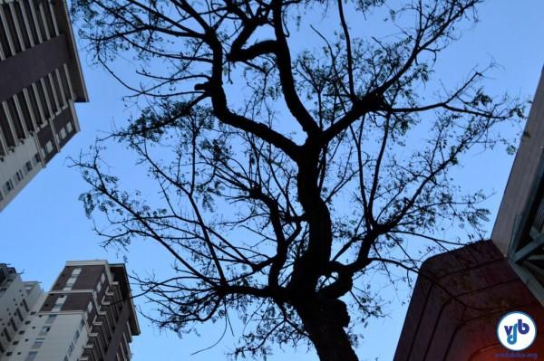 As tipuanas são árvores de origem boliviana, que habitam a cidade de São Paulo desde as décadas de 50/60, segundo Juliana Gatti Pereira, do Árvores Vivas. Foto: Rachel Schein