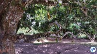 Uma jaqueira carregadíssima lembra uma das fontes de alimentação dos quilombolas. Foto: Willian Cruz