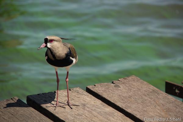 Quero-quero no lago Ypacaraí. Foto: Pedro Sibahi