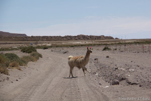 Lhama e estradas de areia no caminho a Uyuni. Foto: Pedro Sibahi